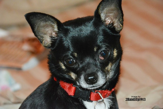 Chicca The Chihuahua_3987