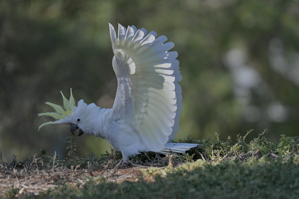Sulphur-crested Cocxkatoo