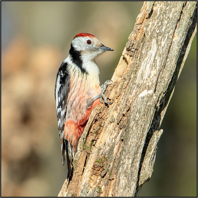 Pic mar / Middle Spotted Woodpecker