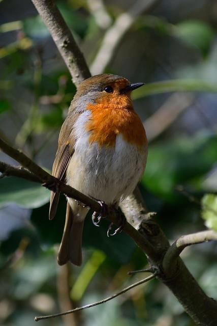 Robbie the Robin