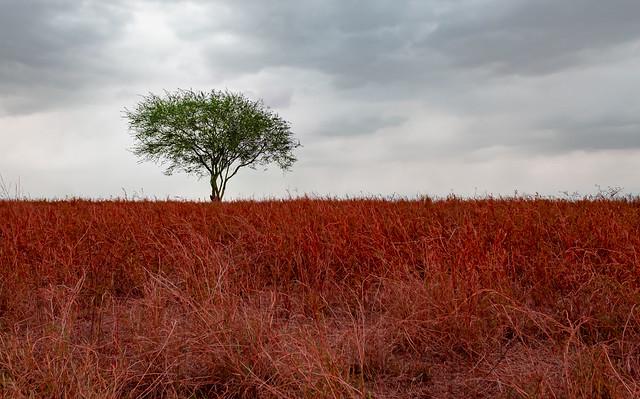 Red Mocambo / Mocambo Vermelho