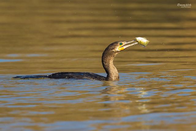 IMG_9506-Neotropic Cormorant-Phalacrocorax brasilianus