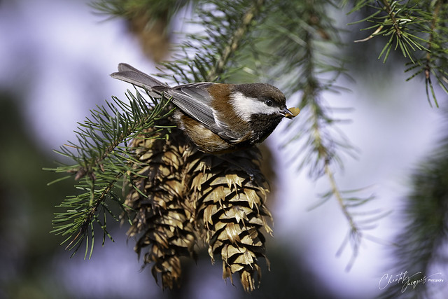 One more for the cache - Chestnut-baked Chickadee