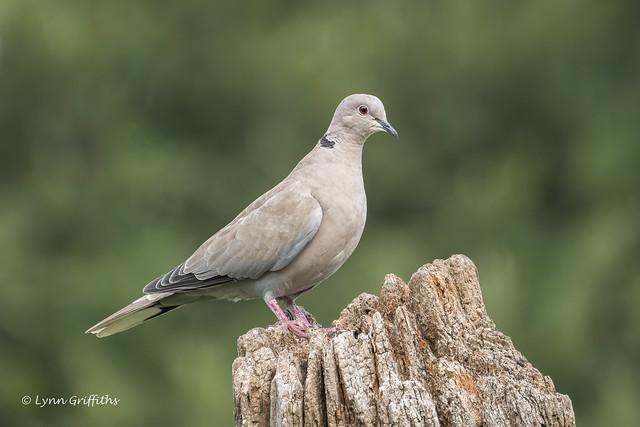 Collared Dove 502_7755.jpg