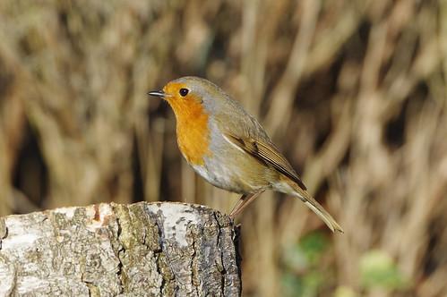 barhill cambridgeshire v bird garden nature robin wild wildlife