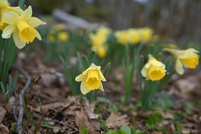 comme achaque printemps et malgré tout les jonquilles s epanouissent ds les pres vosgiens
