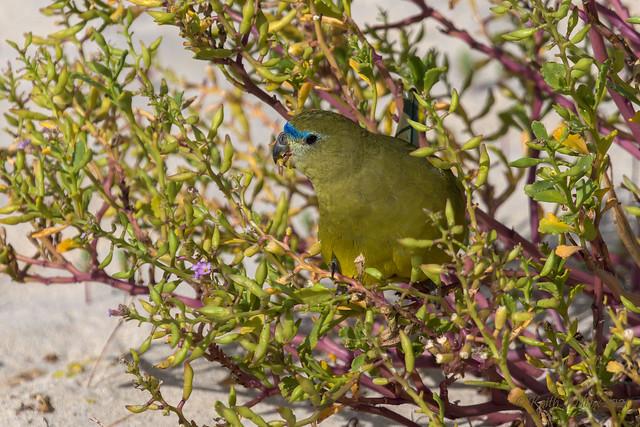 Rock Parrot 2 (Neophema petrophila Ssp petrophila)