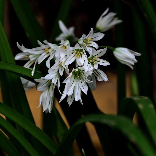 Allassa (Allium triquetrum)
