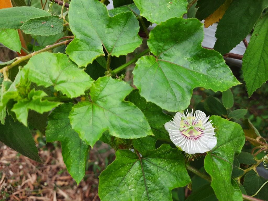 Passiflora foetida L.  Passifloraceae - fetid passionflower, กะทกรก 1