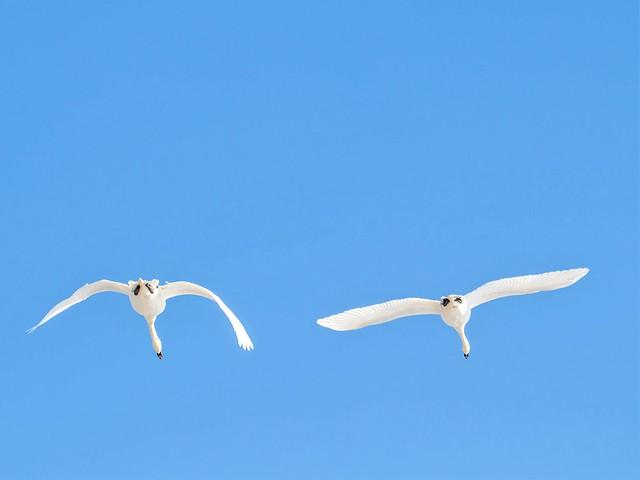 Mute Swan, Cygnus olor, Knobbelzwaan in Holland.