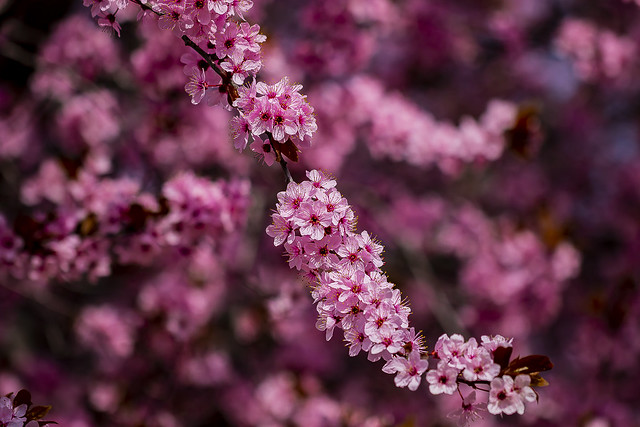 Bunch of Plum blossoms in the park, Madrid, Spain