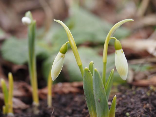 Galanthus elwesii 'Margaret Biddulph'