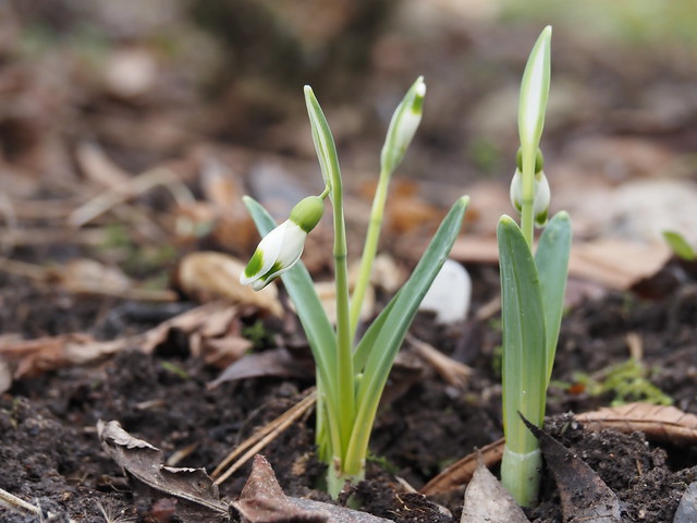 Galanthus 'Pieces of Eight'