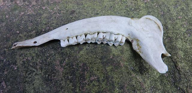 Roe deer mandible