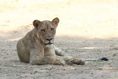 20201028_2276_South Luangwa(Tafika)_Lion