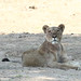 20201028_2281_South Luangwa(Tafika)_Lion