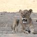 20201028_2286_South Luangwa(Tafika)_Lion