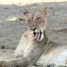 20201028_2313_South Luangwa(Tafika)_Lion