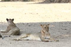 20201028_2329_South Luangwa(Tafika)_Lion
