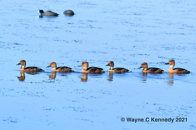 Fulvous Ducks in a Row - took lots of training - Not