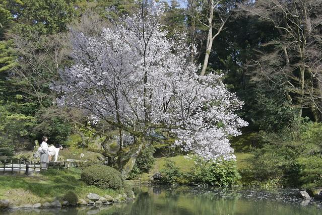 金沢桜満開 その2
