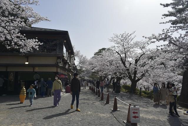 金沢桜満開! その2