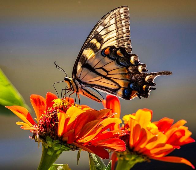 Eastern Tiger Swallowtail Butterfly on a Zinnia Flower