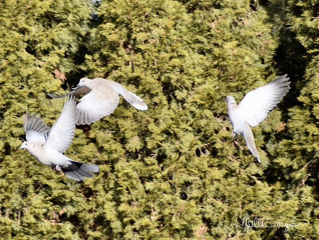 Eurasian Collared Doves in Rugby, ND