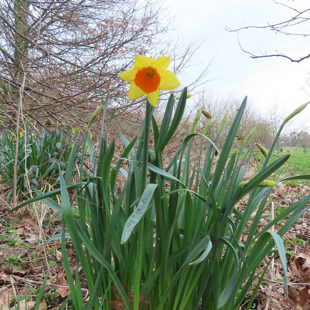 Orange Yellow Daffodil