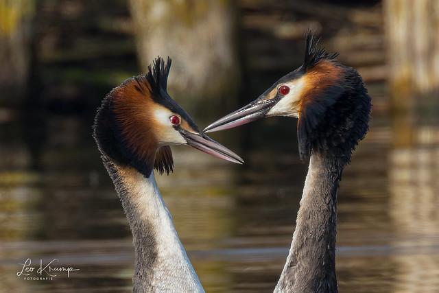 Grebe courting season
