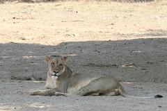 20201028_2282_South Luangwa(Tafika)_Lion