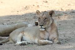 20201028_2294_South Luangwa(Tafika)_Lion