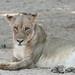 20201028_2298_South Luangwa(Tafika)_Lion