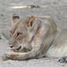 20201028_2301_South Luangwa(Tafika)_Lion