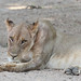 20201028_2303_South Luangwa(Tafika)_Lion