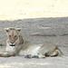 20201028_2319_South Luangwa(Tafika)_Lion