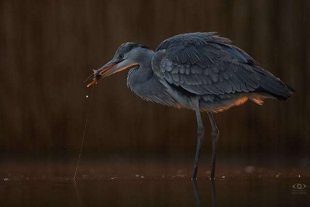 In the backlight: : Graureiher (Ardea cinerea) - Gray/grey heron ·  ·  ·  (5D4_2104-small)