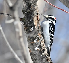Pic Chevelu/ Hairy Woodpecker