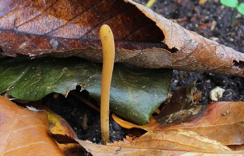Yellow Club - Clavlinopsis helvola- my garden Wool Dorset - 281120 (4) - Explored