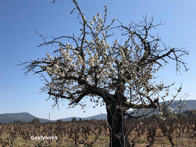 -DD16C1D2A0B7 - Cerisier en fleurs