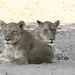 20201028_2283_South Luangwa(Tafika)_Lion