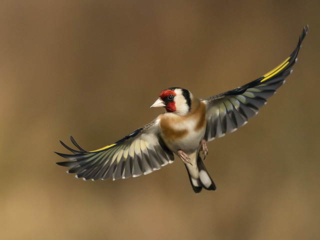 Another Goldfinch inflight.