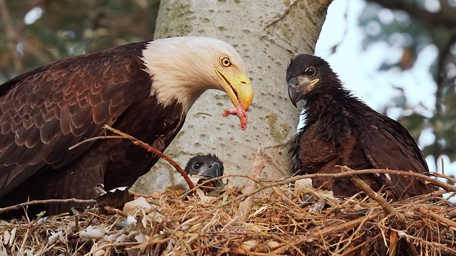 Eaglets-Keep your eyes on the prize!