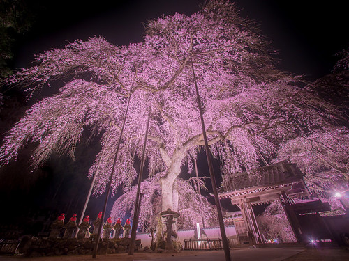 清雲寺 しだれ桜