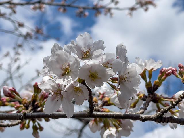 Sakura(Cherry Tree、櫻花、桜、さくら)