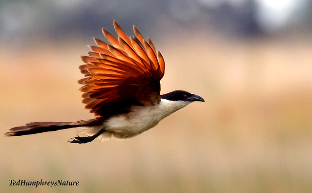 Copperytailed Coucal