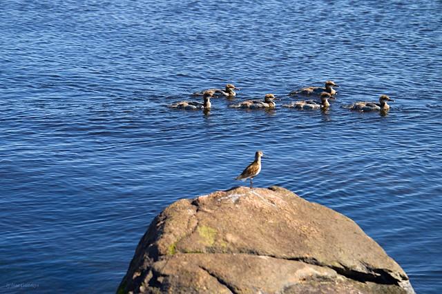 Common snipe and ducks