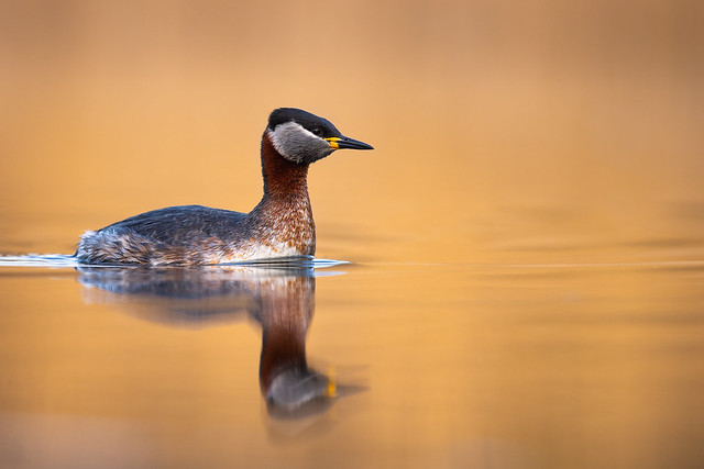 Golden Evening with a Red-necked Grebe