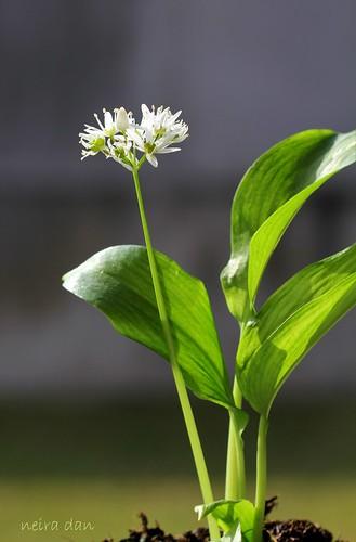 Allium ursinum - ail des ours 51003927905_d32e99fb52