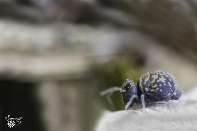 Cassagnaudiella  cruciata spp trichroma
